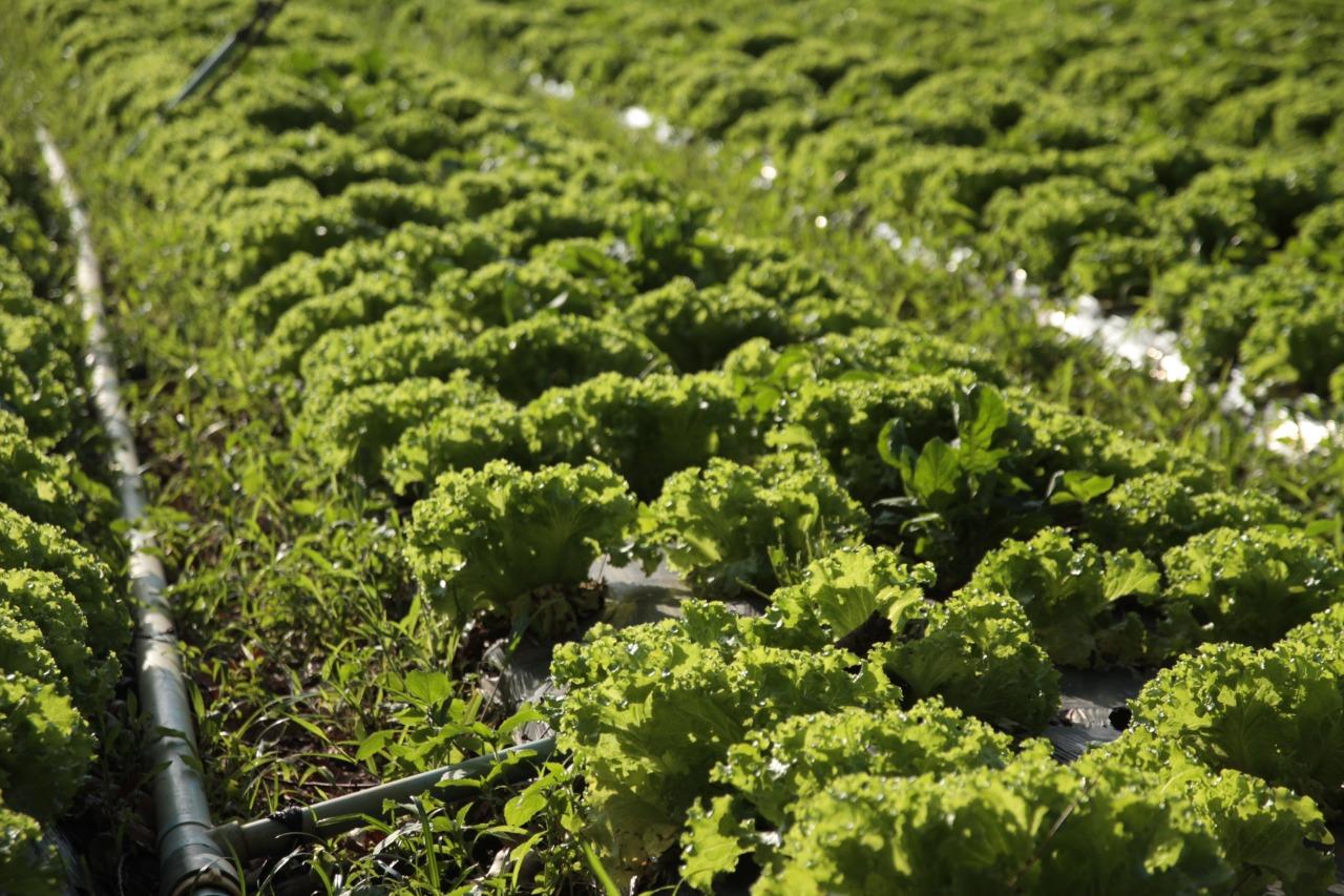 Cooperativa Agropecuária de Ibiúna estuda adotar seletora de alface